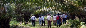 cultivo de palma africana